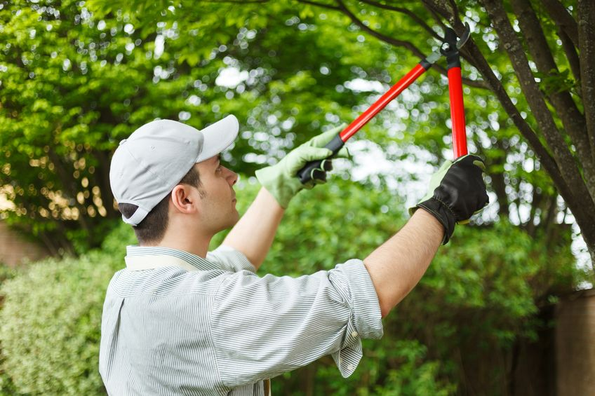 guy pruning a tree