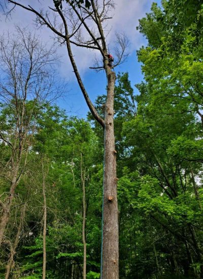 tree service crew on the tree